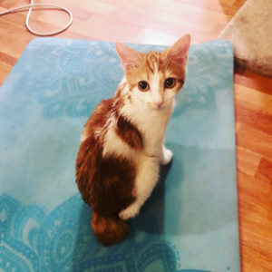 orange and white kitten with bobbed tail on teal yoga mat. It's cute, comforting, and inviting.